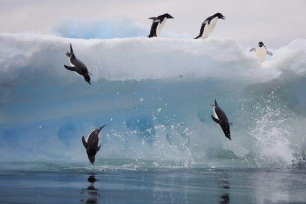 Adeline Penguins