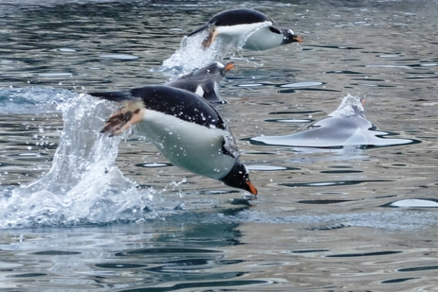 Swimming gentoo penguins Antarctica