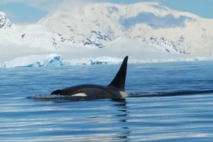 Whale watching orcas in Antarctica Orne harbour